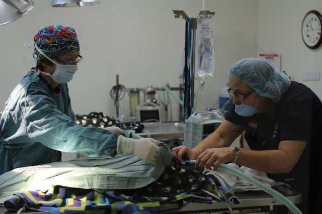 Dr. Chris Armstrong begins an ovariohysterectomy/spay on one of the female cats.