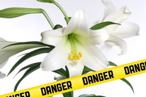 easter-lily-danger