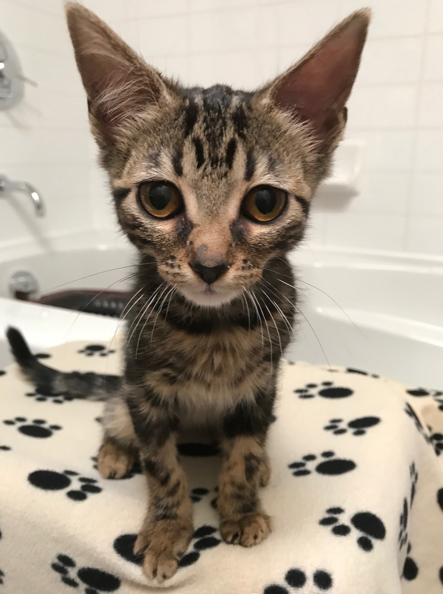 The vokra blog vancouver orphan kitten rescue association spring the kitten that is this little feline has been getting her fair share of attention here at ops with playtime spiritdancerdesigns Images